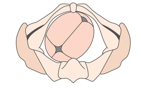 Left Occiput Anterior LOA Baby Fetal Position Pelvis | ROA Right Ilustrace