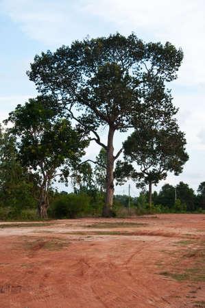 big tree and land, Rayong Thailand Stock Photo - 6845896