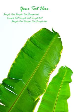 banana leaf: Fresh Banana Leaf Isolated on white Stock Photo