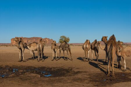 Herd of camels on the Sahara desert. Chad, Africa