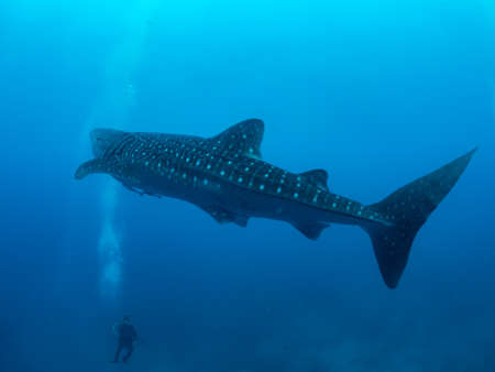 Whale shark and the divers, Oslob, Philippines. Selective focus 版權商用圖片