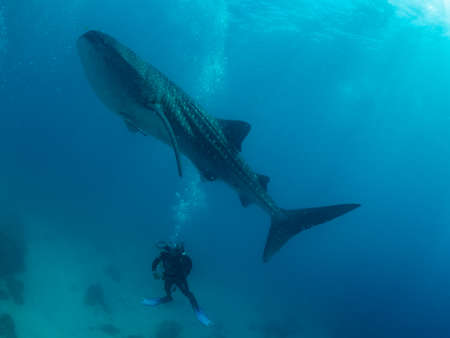 Whale shark and the divers, Oslob, Philippines. Selective focus