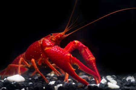 BANGKOK, THAILAND - December 22, 2017 : The Super Red Crayfish show power in the fish tank and black background.Its very strong Crayfish in the water. Stock Photo