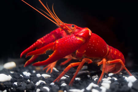 BANGKOK, THAILAND - December 22, 2017 : The Super Red Crayfish show power in the fish tank and black background.Its very strong Crayfish in the water. Editorial