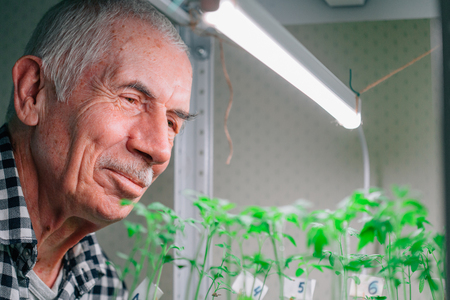 Senior gardener looking at tomato seedlings growing under grow lght. Mature man caring for  small plants