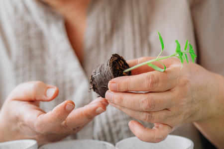 Mature woman caring for seedlings. Close up of sprout with soil in hands. Earth hour 版權商用圖片