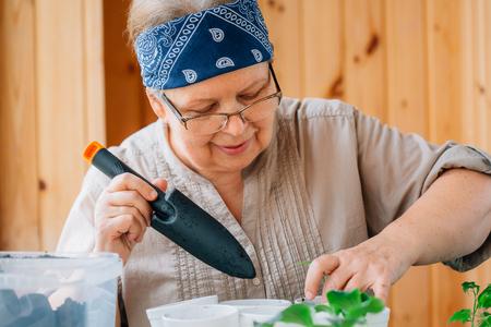 Senior female gardener preparing soil for seedling transplantation. Mature woman in glasses caring for sprouts