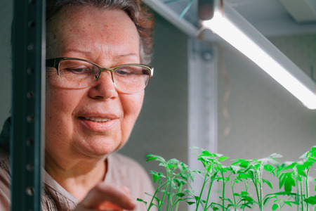 Senior female gardener looking at tomato seedlings growing under grow lght. Mature woman in glasses caring for  small plants