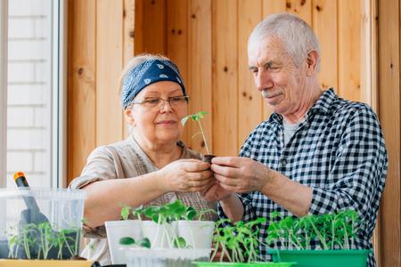 Senior couple caring seedlings. Happy mature man looking at smiling female gardener watering sprouts. 版權商用圖片