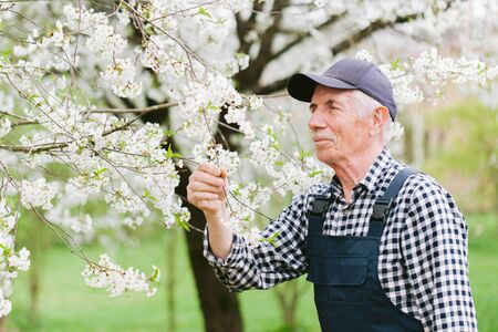 Senior gardener working with blooming tree. Old man in cap and overall in garden. Portrait of aged worker