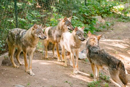 Group of wolves on a rocky plateau lie in wait for prey, Canis lupus. Wild wolf