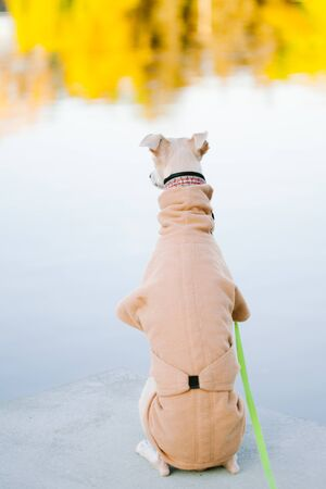 A dog of the whippet breed in a park. Back view of cute dog in coat Foto de archivo