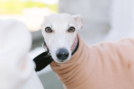 A dog of the whippet breed in a park. Cute dog in coat