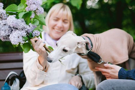 A dog of the whippet breed in a park. Cute dog in coat eating lilac branch