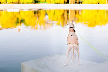 A dog of the whippet breed in a park. Back view of cute dog in coat 版權商用圖片