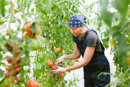 Young pretty female gardener in greenhouse harvesting tomatoes. Woman farmer in overall. 版權商用圖片