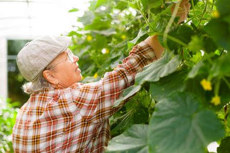 Senior female gardener inside greenhouse harvesting cucumbers. Mature cheerful farmer. 版權商用圖片