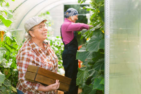 Young and senior female farmers. Mother and daughter in greenhouse harvesting cucumbers. Two gardeners. 版權商用圖片