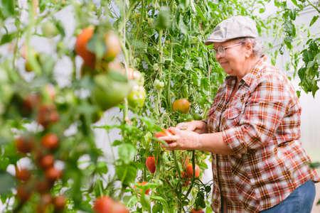 Senior female gardener inside greenhouse harvesting tomatoes. Mature cheerful farmer.