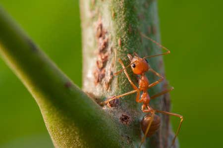 ant leaf: Hormiga roja sobre fondo Rama Verde Foto de archivo