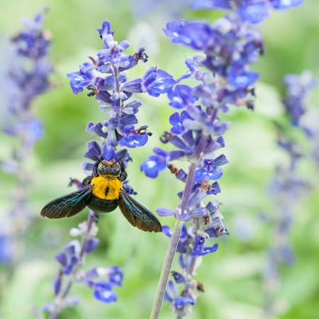 Lavender and Large Carpenter Bee photo