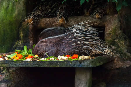 nocturnal: Porcupines are rodent mammals with a coat of sharp spines, or quills. Four of them are in the man-made den at Bangkok Zoo. One is still eating while the others sleep.