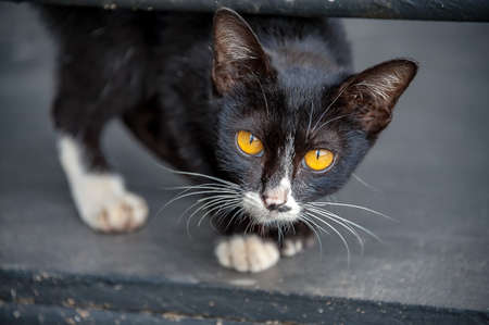 CAT EYES : Young kitten stares with his big bright yellow eyes at the camera. His black round pupils slowly change to thin vertical slit pupils as he walks closer.