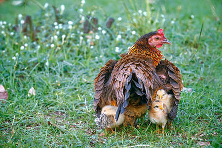 animal feed: Mother hen hiding young chicks under her wings: Mother hen and young chicks in the farm.  Young chicks follow their mother hen while stay hidden under her wings.
