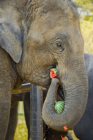 ELEPHANT MUNCHING WATERMELON. An elephant grabs a watermelon with his trunk, while munching another in his mouth. Stock Photo
