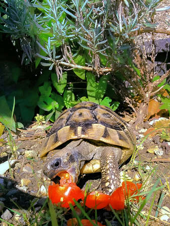 TURTLE EATING TOMATO. A little turtle in my garden eating a tomato. He is contented. His mouth is wide open for a bite. Stock Photo