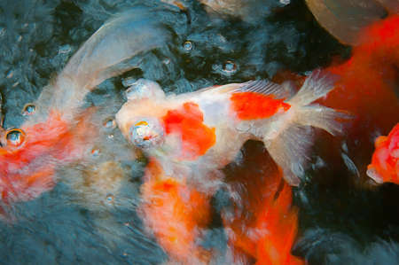 Goldfish emerge from the ripple water. Digital painting of goldfish. Digital brushwork of goldfish. Stock Photo