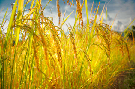 Golden rice field. Close up of rice stalks. Rice paddy field.