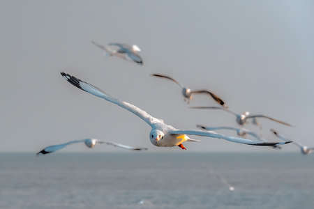 SEAGULLS FLYING IN GROUP. A flock of seagull flying low to the sea.