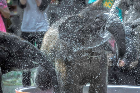YOUNG ELEPHANT HAVING FUN WITH WATER. Young elephant stands swaying and turning his head to receive water from a water hose.