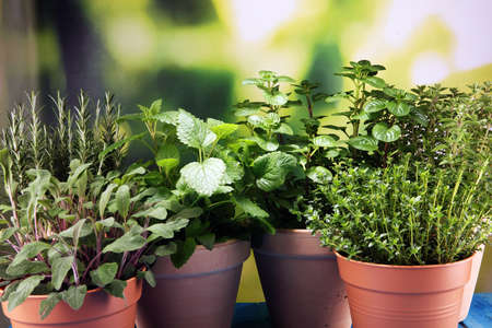 Homegrown and aromatic herbs in old clay pots. Set of culinary herbs. Green growing sage, oregano, thyme, basil, mint and oregano.