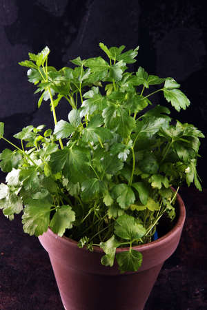 Homegrown and aromatic herb in old clay pot. Set of culinary herb. Green growing parsley. Stock fotó