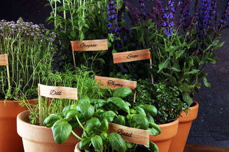 Homegrown and aromatic herbs in old clay pots. Set of culinary herbs. Green growing basil, oregano, dill, parsley and chives with labels