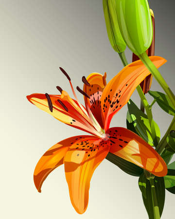 tiger lily: Vector illustration of tiger lily flower with green leaves, stylized watercolor background