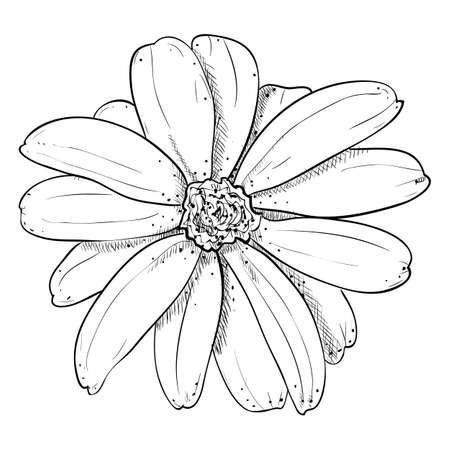 calendula flower: Vector sketch illustration of flower