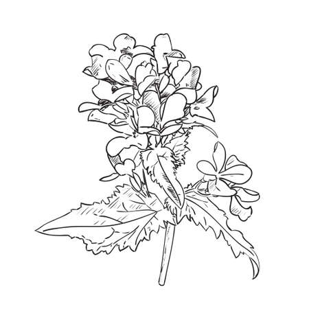 Therapeutic flowers (Medicago sativa, lucerne). Hand drawn vector illustration sketch of plant with leaves and flowers isolated on white background. Illustration