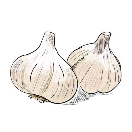 Hand drawn color sketch of garlic. Vintage engraved illustration. Botanical garlic. Vegetarian food drawing. Vector illustration for restaurant menu design Vetores