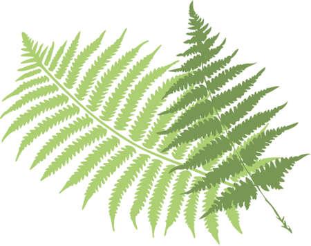 hojas de helecho  Ilustración de vector