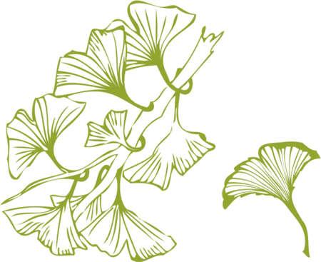 ginkgo: ginkgo leaves