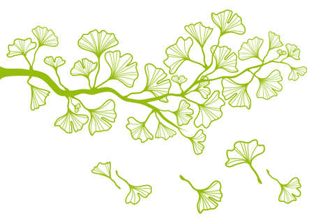 gingko: ginkgo tree branch with green leaves