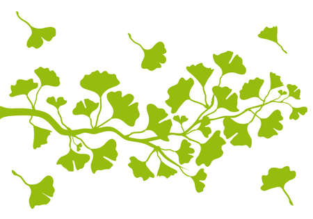 ginkgo tree branch with green leaves Vector