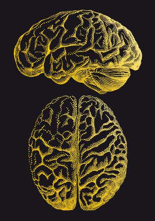 Gold human brain, vintage anatomical vector illustration over black background Illustration