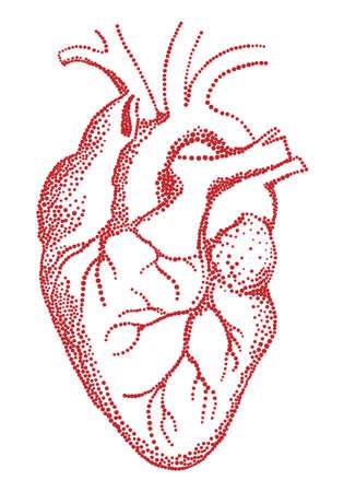 Red human heart, vector illustration over white background Illustration