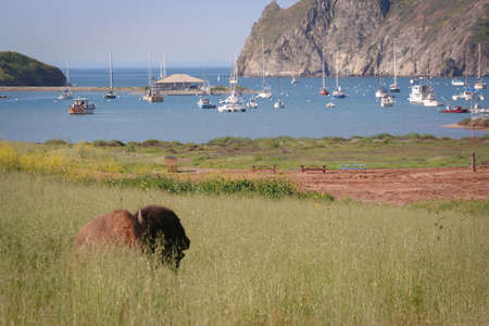 A California Bison (Bison bison) lies in tall grass at Catalina Harbor Stok Fotoğraf