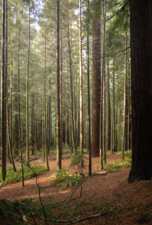 View through the Arcata Community Forest in California on a misty, rainy day, showing tall trees, green ferns, and brown redwood needles carpeting the forest floor. Background image.