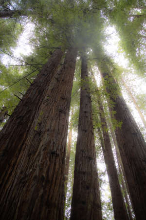 Redwoods in Arcata, CA community forest, near the campus of Humblodt State University, reach skyward through the mist Stok Fotoğraf